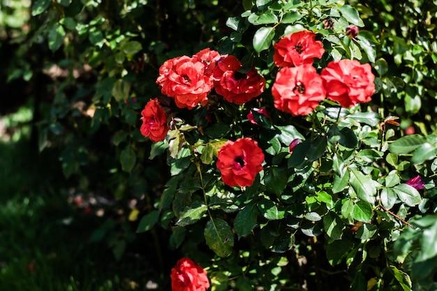 Schöne blühende rotrose im garten mit dem unscharfen grünen blatt