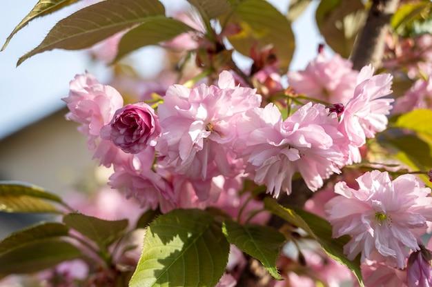 Schöne blühende sakura-zweige im sonnigen licht. rosa sakura-blumen am baum im frühling. schöne japanische kirschblüten
