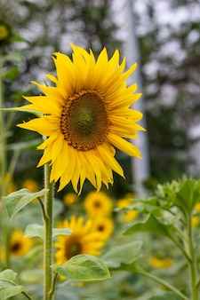 Schöne blühende sonnenblumen im feld mit weichem bokehhintergrund