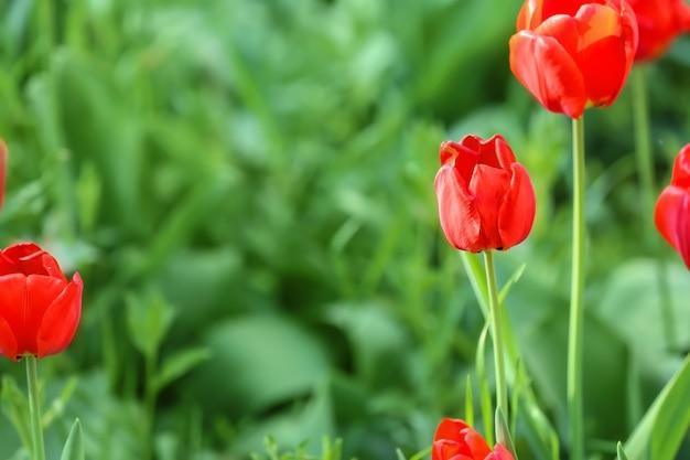 Schöne blühende tulpen im freien