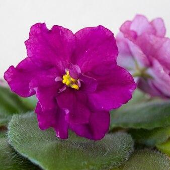 Schöne blühende violette blumen mit grünen blättern