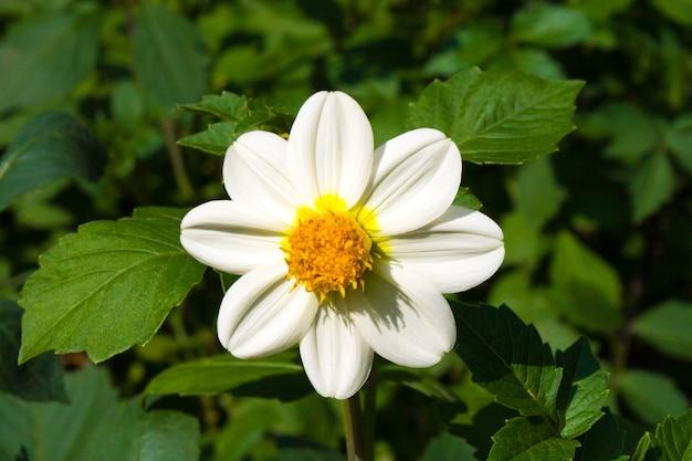 Schöne blühende weiße dahlienblume auf einem hintergrund von grünen blättern an einem sonnigen herbsttag