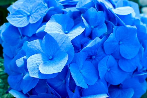 Schöne blühende zarte blaue hortensienblumen