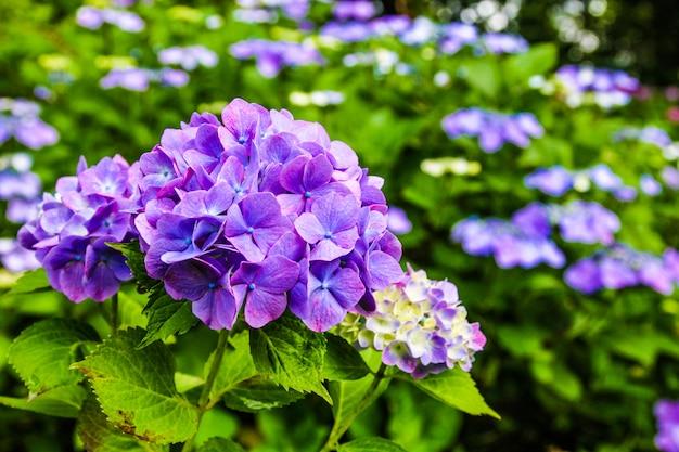 Schöne blume, hortensie-blumen, hortensie macrophylla, das im garten japan blüht.
