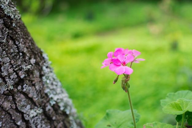 Schöne blume mit rosa blütenblättern, lokalisiert auf dem grünen naturhintergrund.