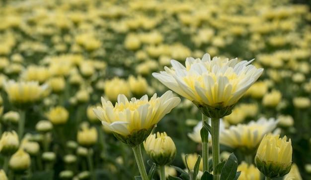 Schöne blume weiße und gelbe chrysanthemenblume im garten
