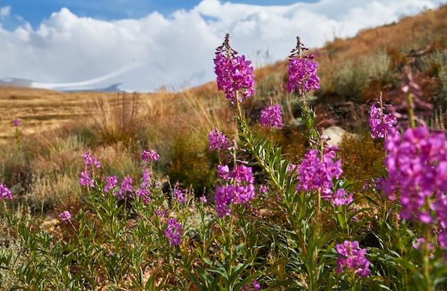 Schöne blumen auf dem gebiet. sonnenuntergang in der steppe, ein schöner abendhimmel mit wolken, plato ukok