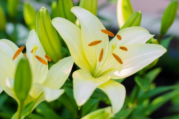 Schöne blumen einer weißen lilie in einem grünen garten. blumensträuße aus lilien