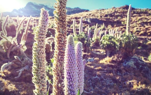 Schöne blumen in den bergen der cordillera huayhuash, peru, südamerika