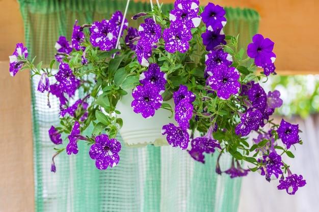 Schöne blumen lila gefleckte petunien nachthimmel in hängenden töpfen für café- oder restaurantdekoration