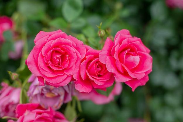 Schöne blumen rosen pflanzen in einem botanischen garten in der natur