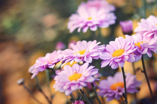 Schöne blumen von chrysanthemen mit weichzeichnung