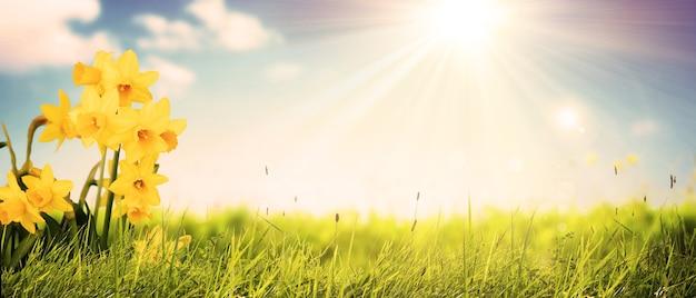 Schöne blumen von narzissen narzissen leuchten morgens bei sonnenaufgang in goldenen sonnenstrahlen.