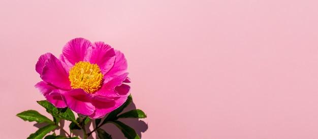 Schöne blumenkomposition von pfingstrosen. rosa pfingstrosenblume auf pastellrosa hintergrund. flache lage, draufsicht, kopierraum, banner