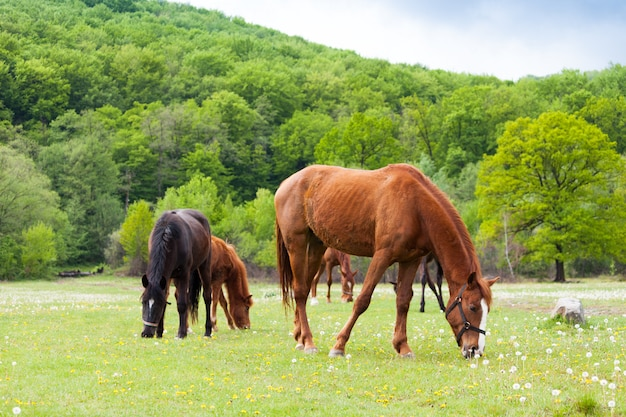 Schöne braune und schwarze pferde, die gras essen und auf einem wiesen- und grüngebiet weiden lassen.