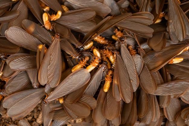 Schöne büschelspinner verlassen das nest in der regenzeit