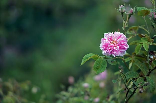Schöne bulgarische damastrosen im tal der rosen in bulgarien