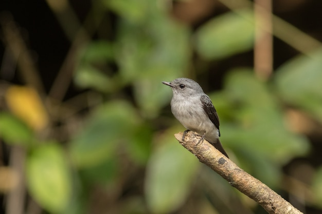 Schöne bunte burd im naturlebensraum im afrikanischen kongo