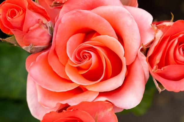 Schöne bunte rosafarbene blumen schließen herauf weichzeichnung
