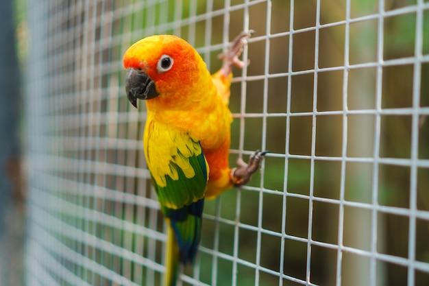 Schöne bunte sonne conure papageienvögel auf maschendraht