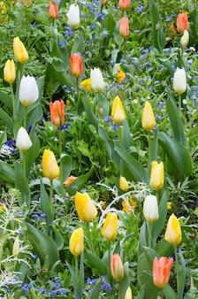 Schöne bunte tulpen im frühling. natur vielfarbiger hintergrund.
