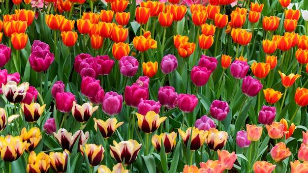 Schöne bunte tulpen in der gartennatur im frühjahr