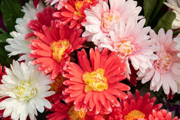 Schöne chrysantheme blüht hintergrund