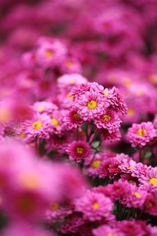 Schöne chrysantheme blumen blühen