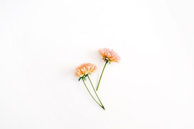 Schöne chrysanthemenblume auf weiß