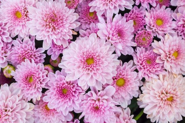 Schöne chrysanthemenblumenhintergrund-draufsicht