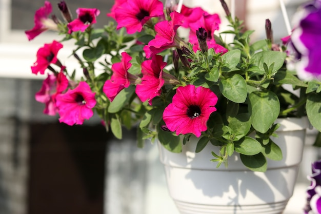 Schöne dekorative rosa petunien in hängenden töpfen im freien