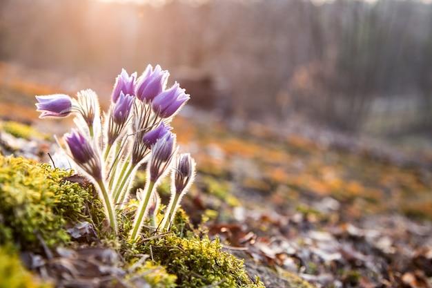 Schöne detail natürliche blume blühender pasqueflower