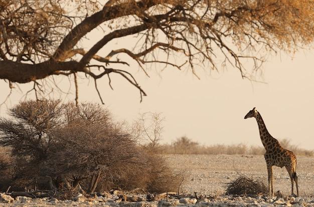 Schöne dramatische aufnahme einer safari-landschaft mit einer giraffe, die unter einem getrockneten baum steht