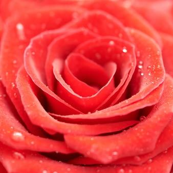 Schöne dunkelrote rose nahaufnahme detail