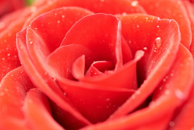 Schöne dunkelrote rose.