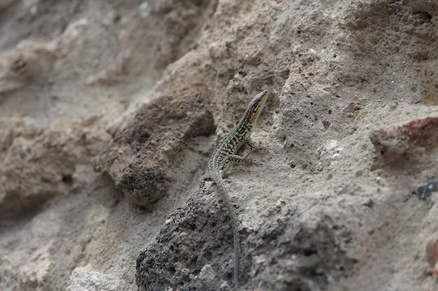 Schöne eidechse unter den steinen im sommer
