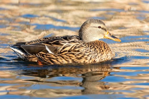 Schöne ente, die in einem fluss schwimmt