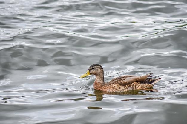 Schöne ente schwimmt in windermere lake nach dem regen