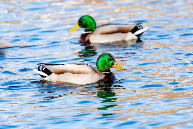Schöne enten, die in einem fluss schwimmen