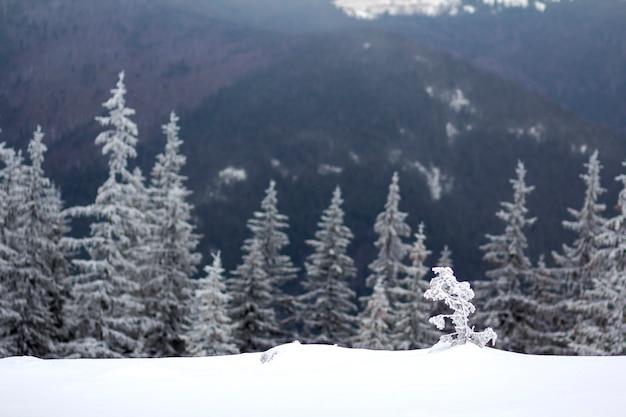 Schöne erstaunliche bergwinterlandschaft. kleiner junger baum im tiefen schnee gebogen durch wind bedeckt mit frost an kaltem frostigem sonnigem tag auf dunklem unscharfem kopienraumhintergrund des tannenbaumwaldes.