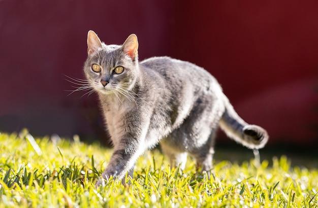 Schöne erwachsene katze, die im garten spazieren geht und während des sonnigen tages spaß hat.