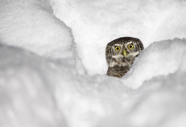 Schöne eule im schnee