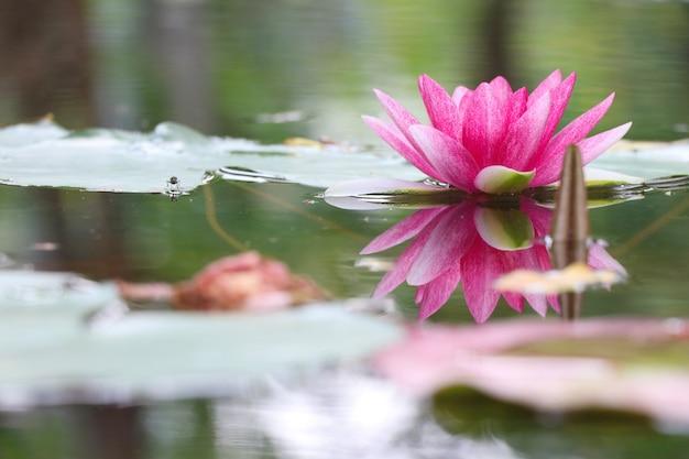 Schöne farbe der rosa seerose mit wasseroberflächenreflexion im teich