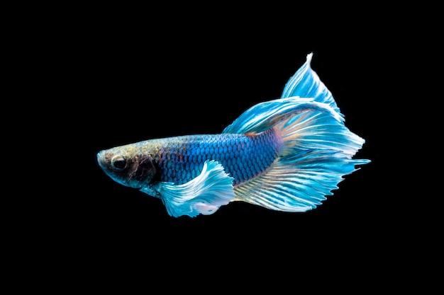Schöne farbe der siamesischen betta fische auf schwarzem hintergrund