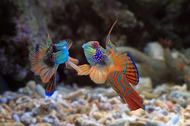 Schöne farbe mandarinenfische farbenfrohe mandarinenfische mandarinenfische nahaufnahme mandarinfisch oder manda