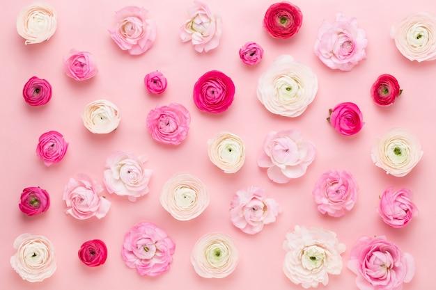 Schöne farbige ranunkelblüten auf einem rosa