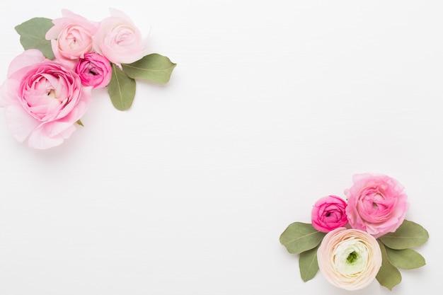 Schöne farbige ranunkelblüten auf einem weiß. frühlingsgrußkarte.