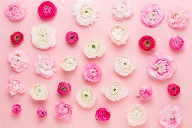 Schöne farbige ranunkelblumen auf einem rosa hintergrund. frühling