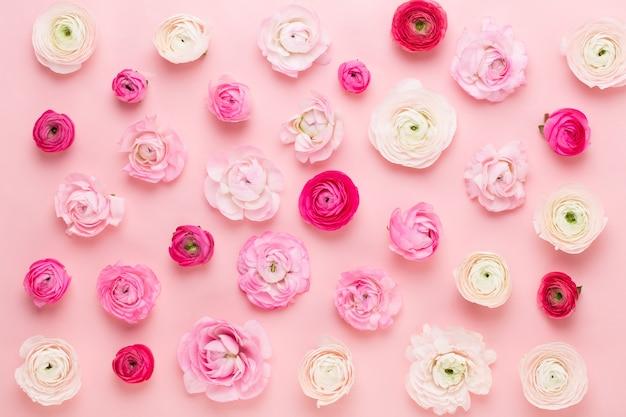 Schöne farbige ranunkelblumen auf einem rosa hintergrund. frühlingsgrußkarte.