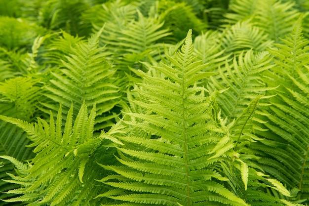 Schöne farne blätter grünes laub natur blumenfarn hintergrund farne blätter grünes laub